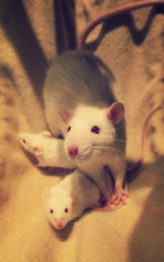 Momma and two baby ratties.... :3