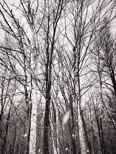 Birch trees at jay peak resort on jay Vermont