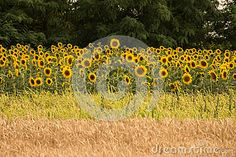 Photo about Fields of sunflower and grain near forest. Image of blossoming, farming, flowering - 96781263 Sunflower Fields, Vineyard, Stock Photos, Nature, Flowers, Outdoor, Image, Outdoors, Naturaleza