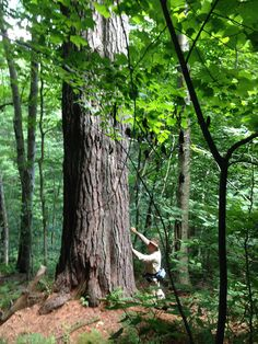 """Bob Leverett, measuring the old """"Grandfather Pine"""" in the Berkshires of Western Mass.  By Ray Asselin"""
