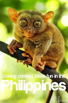 More FUN in the Philippines! - look what i found lol ur favorite ;) weve seen a tarsier in our honeymoon trip to Bohol Philippines Tourism, Bohol Philippines, Tourism Department, Philippine News, Cebu, Summer Activities, Poster Prints, Posters, More Fun