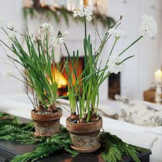 Paper Whites, Couch, FirePlace FROM: How to Grow Paperwhites