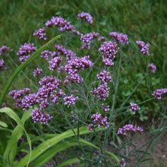 Verbena bonariensis (Dwarf Vervain) Sandy's