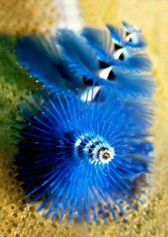 Christmas Tree Worm - Underwater World Underwater Creatures, Underwater Life, Ocean Creatures, Weird Sea Creatures, Under The Ocean, Sea And Ocean, Beautiful Sea Creatures, Beneath The Sea, Water Animals