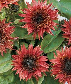 Double Dandy dwarf sunflower (Helianthus annus) This variety grows up to 24 inches. We are planting 10 varieties of dwarf sunflowers as a temporary filler for the flower bed, as we can't plant bulbs until October or November in our hot desert climate.