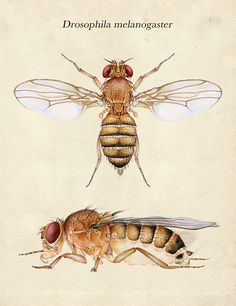 Biology paper about.....Drosophila melanogaster.....importance in genetics and evolution?