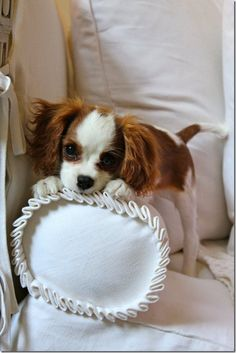 Cavalier King Charles Spaniel puppy!