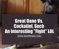 "Great Dane Vs. Cockatiel, Such An Interesting ""Fight"" LOL"