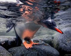 Gentoo Penguin, Antarctica Photograph by Paul Nicklen, National Geographic A gentoo penguin peeks beneath the water in Port Lockroy, Antarctica. National Geographic, Penguin Pictures, Animal Pictures, Bird Pictures, Pretty Pictures, Underwater Photography, Animal Photography, Wildlife Photography, Extreme Photography