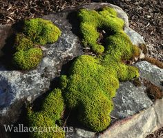 """Grow Your Own Moss. Get a jump start now on those mossy boulders for the summer shade garden. Cooler temperatures and rainy weather provide proper conditions for establishing or expanding a """"moss garden."""" Select a shady boulder in an area that will receive adequate water during the summer months, or start replacing a patch of lawn in the shade where the grass never grows. Keep in mind: water is critical to keep moss looking lush and healthy. If there are patches of moss already in the…"""