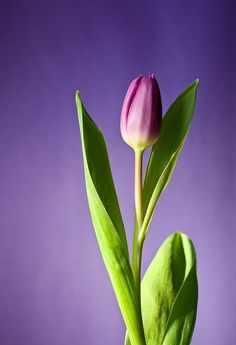 Tulipa, Flor, Florescer, Rosa, Flores, Primavera