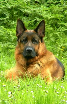 German Shepherd.  Quantto de El Cerrolen
