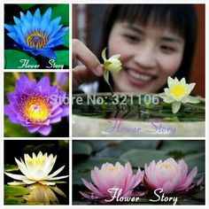 Free Shipping 5 Mixed Color Water lily(lotus ,nymphaea)Seeds   beautiful  DIY Home GardenAquatic Plants-in Bonsai from Home & Garden on Aliexpress.com | Alibaba Group Lily Care, Flower Seeds, Bonsai, Color Mixing, Alibaba Group, Lotus, Home And Garden, Free Shipping, Water
