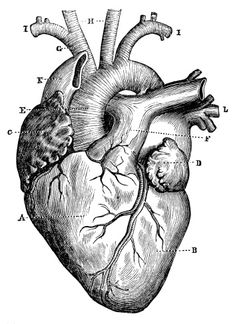 View top-quality illustrations of Antique Medical Scientific Illustration Highresolution Heart. Find premium, high-resolution illustrative art at Getty Images. Medical Drawings, Medical Art, Medical Tattoos, Heart Illustration, Medical Illustration, Human Anatomy Art, Heart Anatomy Drawing, Anatomical Heart Drawing, Illustrations Médicales