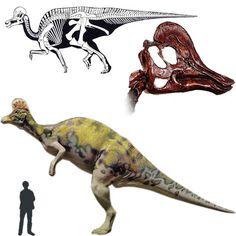 El Corythosaurus es un hadrosáurido muy conocido por su enorme cresta en la parte superior del cráneo. Se cree que ésta era usada para emitir sonidos a gran volumen, ya sean de alarma o como cortejo para el apareamiento. Vivió en el período Cretácico. Su peso era de 4 toneladas. Se cree que el Corythosaurus era un dinosaurio gregario. Longitud: 10 metros. Encontrado en Norteamérica