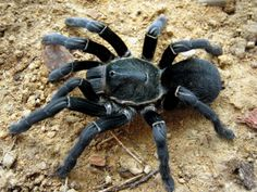 Haplopelma SIMON 1892 – old world tarantulas Large Animals, Animals And Pets, Cute Animals, Eight Legged Freaks, Spiders And Snakes, Insect Photos, Itsy Bitsy Spider, A Bug's Life, Spider Webs