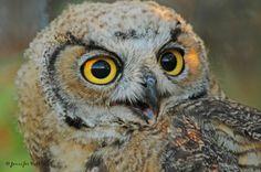Juvenile Great-horned Owl