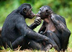 Bonobo apes :-)
