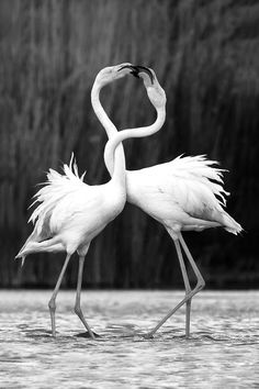 Flamingos in black and white