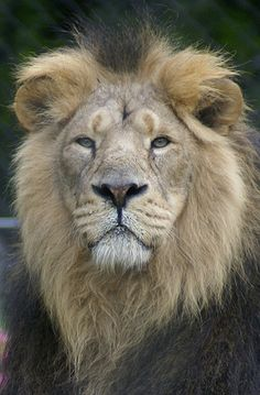 Barbary Lion | Junger Berberlöwe / Atlaslöwe / Young Barbary Lion / Atlas Lion ...