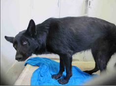 Broken inside: Neglected and terrified German shepherd in need of help  Please don't let this girl die because she is misunderstood. Please read/share and help her if you can. <3 status can change anytime>>Don't wait until it's too late. <3