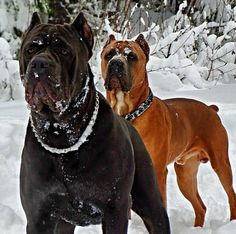Cane Corso Source by eevlimoglu Cane Corso Italian Mastiff, Cane Corso Mastiff, Cane Corso Dog, Giant Dog Breeds, Large Dog Breeds, Best Dogs For Families, Family Dogs, Big Dogs, Dogs And Puppies