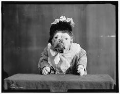 BULLDOGS IN FANCY DRESS, 1905