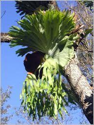 staghorn fern - Google Search