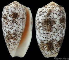 Textilia stercusmuscarum  Linnaeus, C., 1758	 Fly-specked Cone	 Shell size 27 - 64 mm	 W Pacific