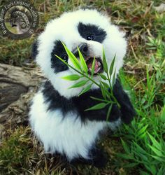 Baby panda eating some bamboo. Look at his little face! #baboonbamboo