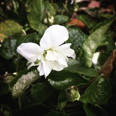 Double white violets... Life doesn't get much better than that. #thesimplethings #fragrant #flowers #white #violets #OakandMonkeyPuzzle #SpargoCreek #Daylesford #favouritethings