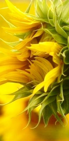 Here's our Mellow yellow photo gallery including pictures of luscious decor, fashion shoes, accessories and nature. Shades Of Yellow, Mellow Yellow, My Sunshine, Belle Photo, Mother Nature, Planting Flowers, Flowers Garden, Tree Garden, Beautiful Flowers