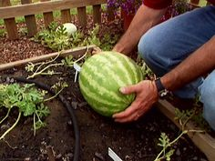 How to Grow WATERMELON ~ Who doesn't love watermelon? This popular summer fruit is not that difficult to grow given the right conditions. LOVE the Step-by-Step instructions; from purchasing the seeds to harvesting the watermelons! Fruit Garden, Edible Garden, Summer Garden, Lawn And Garden, Vegetable Garden, Container Gardening, Gardening Tips, How To Grow Watermelon, Growing Watermelon From Seed
