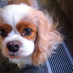 Cavalier King Charles Spaniel.....Isn't this the sweetest little face!!!