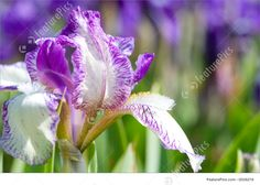 paintings of a bunch of iris flowers up close - Yahoo Image Search Results Plants, Plant, Planting, Planets
