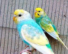 Rare Budgie Mutations | Cocorite e Pappagallini Ondulati