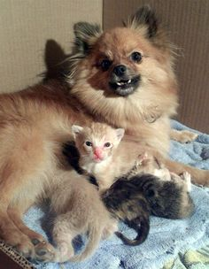 "Chia, a Pomeranian in Emporia, Kan., let four abandoned kittens nurse from her in August 2000. Chia, who had a 2-week-old puppy of her own at the time, adopted the motherless kittens after they were found by her owner's boyfriend. ""Her mother instincts took over,"" owner Kelsey Wilson said. ""She herded them and got them to nurse."" What a wonderful mom, Chia is!"