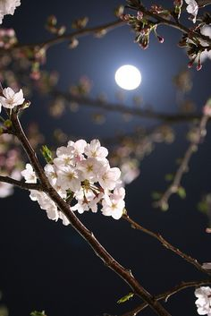 Blossom Flowers at Night with Moon Beautiful Moon, Beautiful World, Beautiful Flowers, Simply Beautiful, Moon Pictures, Pretty Pictures, Foto Poster, Japan Illustration, Night Skies