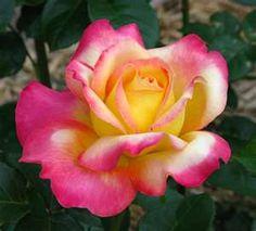 Peace rose - my favorite