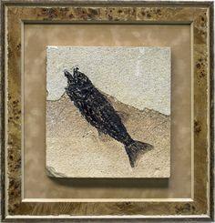 Framed Mioplosus Fossil Fish