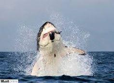 fotos de tubaroes branco saltando - Pesquisa Google