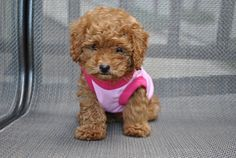I can not wait to get one!!<3 maltese toy poodle....