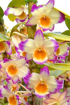 Dendrobium Fancy Lady 'Royal Princess' orchid