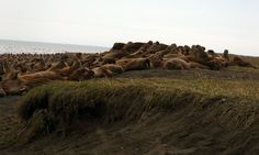 Scientists investigate massive walrus haul-out in Alaska  |  Scientists fear declining Arctic sea ice may have caused an unprecedented mass migration to dry land