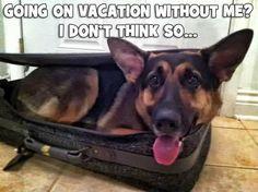 German Shepard, Luggage, Traveling