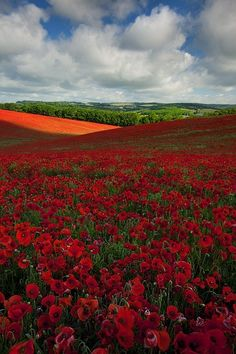 Field of poppies. Sea of Redgasm.
