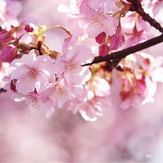 【smileoflily】さんのInstagramをピンしています。 《おはようございます😊 ・ ・ 寒い日曜日の朝です ・ ・ 風邪などひかれませんようお気をつけて、素敵な一日をお過ごし下さいませ*ଯ( ॢᵕ꒶̮ᵕ)ॢഒ*♡ ・ ・ Have  a  nice  Sunday 😊💝 ・ ・ 2017.2.19 * * * #神奈川 #松田山ハーブガーデン  #河津桜 #cherryblossoms #flower  #ザ花部 #はなまっぷ#wp_flower  #wp_まっぷ花まつり #whim_life  #tv_flowers #flowerstalking  #team_jp_ #Airy_pics  #myheartinshots #backyard_dreams #splendid_flowers #Flowers2sky #7flowers_1day #kings_flora  #rainbow_petals #9Vaga9  #_lovely_weekend #loves_garden  #superb_flowers #igscflowers…
