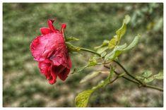 @beautyofourworld07 Roses, Plants, Photography, Photograph, Pink, Rose, Fotografie, Photoshoot, Plant