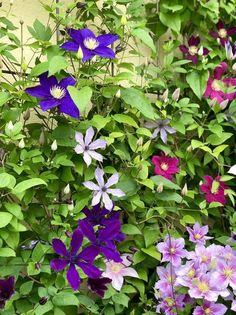 もう…何がなんだか・・・ - 雑木と宿根草とクレマチスの小さな庭づくり Yoko, Clematis, Herbs, Flowers, Plants, Herb, Plant, Royal Icing Flowers, Flower