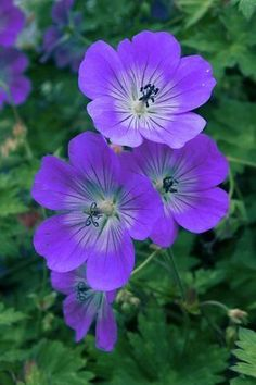True Geranium - the other 'geraniums' are in fact pelargoniums.